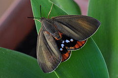 Giant male Butterfly moth (Male Paysandisia Archon from Castniidae family) (natureloving) Tags: malebutterflymoth malepaysandisiaarchon castniidae summermoth nature insect natureloving nikon d90 afsvrmicronikkor105mmf28gifed