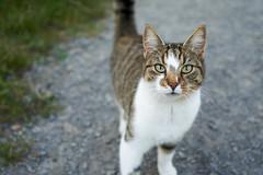Look into my eyes (foto_mawin) Tags: nofilter sonyalpha6000 alpha6000 sony28mmf2 primelens cat cateye katzenauge sommer summer bokeh bokeful bokehlicious