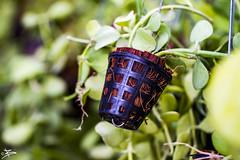 Tiny Pot (briejeshpatel) Tags: brijesh patel briejeshpatel karnataka flowershowaugust152016 macro flowers canon 7dcanon l lens dslrcanon 100mm f28l bangalore lalbagh flower show2016 f28 macrophotography macrography creativepot