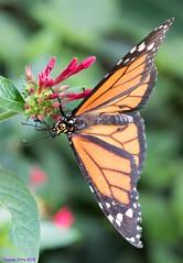 K46A8029 (Yvonne23021984) Tags: schmetterling butterfly hamm germany deutschland maxipark markro photography macrophotography canon canonphotography markofotografy canoneos7dmarkii insects insekten nature naturfotografie naturephotography closeup colorkey schmetterlinge butterflies