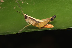 Orthoptera sp. (Grasshopper) - Costa Rica (Nick Dean1) Tags: orthoptera grasshopper katydid animalia arthropoda arthropod hexapoda hexapod insect insecta costarica lakearenal guanacaste