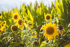 Rise and shine (neus_oliver) Tags: sunflowers summer sun sunset flowers yellow nature nikon green sunrise rise shine germany mnster