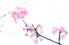 Day 047 (maaco) Tags: nikon d7000 adobe photoshop lightroom cosina zeiss makroplanar 50mm f2 t zf carlzeiss makroplanar50mmf2tzf project365 365 2016 sakura flowers flower    pink