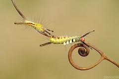 Double Trouble (Vie Lipowski) Tags: whitemarkedtussockmothcaterpillar orgyialeucostigma tendril caterpillar moth insect bug wildlife nature macro