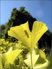 (Tlgyesi Kata) Tags: ginko ginkgobiloba green fvszkert botanikuskert botanicalgarden withcanonpowershota620 leaf foliage nyr summer budapest insect shadow rovar rnyk bluesky
