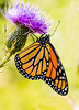 Monarch & Thistle. (Bernie Kasper) Tags: art berniekasper butterfly monarchbutterfly butterflyweed bug bugs color d600 effect flower floral family flowers fall hiking indiana insect jeffersoncounty kasper light madisonindiana macro nature nikon naturephotography sigma sigma150 outdoors outdoor orange photography plant purple red raw new old summer sunset travel thistle wildflower wildflowers wings wing nectar feeding