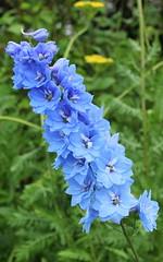 Delphinium (Graham`s pics) Tags: delphinium larkspur plant flower garden colour