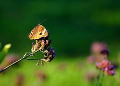 aposematic (gwuphd) Tags: nikon 70180mm f45 micronikkor macro moth aposematic insect color bokeh