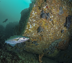 Lieu oeil de verre (penelope64) Tags: plonge dive mer sea manche saintcast lacatis olympusem5 fisheye panasonic8mmfisheye lieu