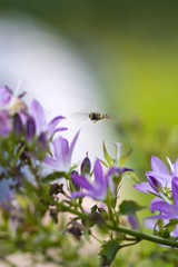 hoverfly doing what it does best (carolina b. fotografie) Tags: hoverfly zweefvlieg campanula tuin garden bokeh dof