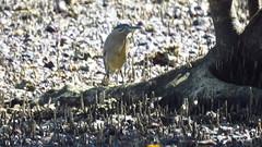 mangrove (striated) herron (bittern) mjc-2016-08-16-IMG_2084 (wiccked) Tags: birding birds wellingtonpoint kingisland