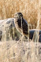 Burrowing Owl (mooreskyler242) Tags: owl burrowingowl antelopeisland antelopeislandstatepark