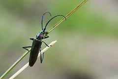 Capricornio verde oloroso II (Xuan Moro) Tags: fauna asturias colunga luces animal insecto escarabajo xuanmoro