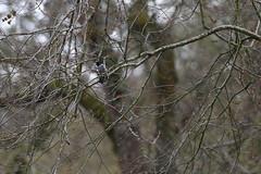Grey Butcherbird (blachswan) Tags: ballarat victoria australia lakewendouree spring swans blackswan cygnet blackswancygnet cygnets blackswancygnets grey butcherbird greybutcherbird