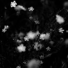 Summer Wildflowers 026 (noahbw) Tags: d5000 dof middleforksavanna nikon abstract blackwhite blackandwhite blur branches bw depthoffield landscape marshland monochrome natural noahbw prairie square summer wetlands