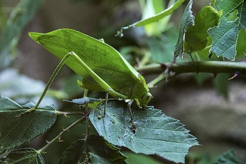 Tropische Grossinsekten