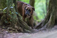 ... (Tams Szarka) Tags: dog pet animal puppy outdoor nature forest boxerdog boxer summer nikon