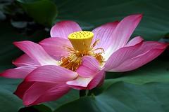 Lotus 05 (itsuo.t) Tags: flower lotusflower summerflower bloomsinpond ハスの花 蓮