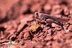 Aiuto identificazione? (HerpetoMagge) Tags: rosso red grasshopper cricket tuscany wildlife macro insect nature invertebrate invertebrates orthoptera mimicry gold reddish