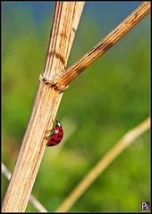 Ladybird climbing (pbassek) Tags: ladybird ladybug climbing red black spots brockholesnaturereserve brockholes reserve preston lancashire bassek images nikon d5200 sigma 18200mm