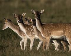 3H8A3949 (shay connolly) Tags: fallow deer dublin phoenix parl wildlife shay connolly
