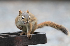Staking his claim.....  :) (Paridae) Tags: pinesquirrel redsquirrel squirrel mammalsofbritishcolumbia mammalsoflillooet tamiasciurushudsonicus boomer chickaree afewofmyfavouritethings camping setonlake