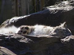 650-19L (Lozarithm) Tags: sigma marwell bigcats kx leopards 70300 snowleopards justpentax flickrbigcats