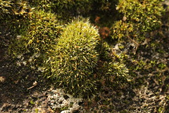 moss (louisa_catlover) Tags: autumn plants macro green fall nature rock stone closeup canon garden eos moss australia melbourne victoria 100mm dandenongs macrolens fernycreek 60d fernycreekhorticulturalsociety