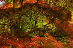 Japanese Maple tree