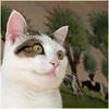 Jasmijn (Cajaflez) Tags: portrait pet cute cat eyes kat chat katze ogen portret gatto huisdier jasmijn kissablekat bestofcats kittyschoice catmoments 100commentgroup catnipaddicts saariysqualitypictures mygearandme mygearandmepremium ringexcellence flickrstruereflection1
