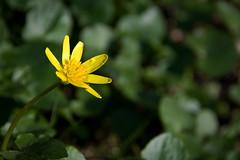 (ZeiR) Tags: plant flower green nature yellow canon garden dof bokeh sigma petal marigold perennial marshmarigold calthapalustris kingcup kuusisto rentukka luhtarentukka