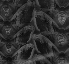 Saturnia Pyri ~ Viennese Emperor ~ Groes Wiener Nachtpfauenauge ~ Giant Peacock Moth ~ Grand paon de nuit - Daniel Spoerri im Naturhistorischen Museum Wien (hedbavny) Tags: blackandwhite bw nature museum fauna butterfly insect dead death wings poetry artist poem pattern body contemporaryart kunst natur moth exhibition naturalhistory collection corps saturn falter schwarzweiss biology tot insekt saturnia muster collect gedicht variation ausstellung vitrine schmetterling imago biologie knstler sammeln flgel sammlung sammler pfauenauge leiche saturniidae nachtfalter saturniapyri oskarwerner naturkunde melancholie zeitgenssischekunst invi wienvienna sterreichaustria prparat nachtaktiv schaustck anordnung grandpaondenuit danielspoerri naturgeschichte ausstellungsstck rezitation geschlichtet preservedspecimens repetitio prpariert pfauenspinner groseswienernachtpfauenauge gedichtrezitation