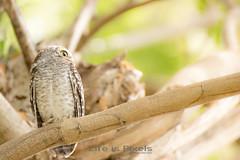 Little Owl (hi-key)