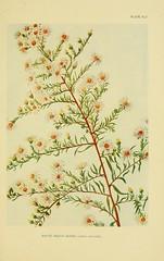 Anglų lietuvių žodynas. Žodis aster ericoides reiškia arvydas ericoides lietuviškai.