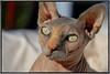 MY GIRL SKYE (mutter2009 *OFF*) Tags: skye blueribbonwinner coth nakedcats nikond60 sphynxcats hairlesscats kissablekat blueandcream bestofcats kittyschoice sunrays5