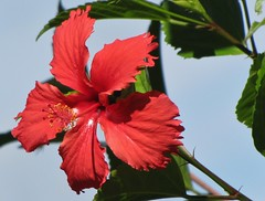 Hibisco (jakza) Tags: hibisco florvermelha wonderfulworldofflowers abril12div