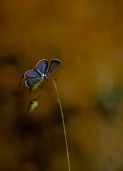 I will lift the flight (Ferdinandos) Tags: espaa nature butterfly corua galicia mariposa