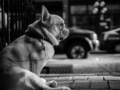 What is this dog thinking? (Eugene's Likeness) Tags: dog canada vancouver fence downtown bc olympus gastown omd hff m43 mft em5 panaleica microfourthirds leicadgsummilux25mmf14 shuttertherapy