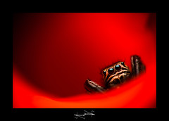 araignée macro en rouge spider jumper in red damail D.F.N. ('^_^ Damail Nobre ^_^') Tags: flowers vacation favorite france color macro art nature animal animals canon french geotagged fun photography spider photo eyes europe flickr gallery photographie photos flash picture award best yeux fave views passion animaux iledefrance français couleur insecte boken francais araignée flore sauvages artiste 50mm18 photographe 100macro favoris macrophotographie amourette dfn damail macrolife 5dmarkii français wwwdamailfr