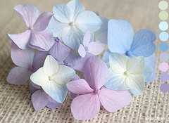 Hydrangea color palette (Tonya Utkina) Tags: flowers blue inspiration color nature colors garden paint artist purple box ivory lavender bloom hydrangea range combination palette