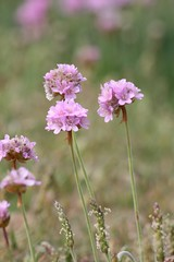 Thrift almost over (loobyloo55) Tags: flower nature canon sussex flora thrift seapink canoneos400d earthnaturelife