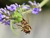 Clash of the Titans (sturkalj) Tags: ape spinne soe biene ragno pauk goldenbee pčela fbdg me2youphotographylevel1 unlimitedinsectslevel1 unlimitedinsectslevel2