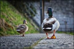 _2012_03_8032_IMG_2094 (_SG_) Tags: canon river lens eos schweiz switzerland is duck suisse mark ducks an basel ii usm enten ente rhine rhein ef münster basle markii mym 24105 riverrhine objektiv wettsteinbrücke rhy f4l 24105mm baselch baslermünster canonef24105mmf4lis canonef24105mmf4lisusm ef24105 münsterbasel 24105usm zbasel 5dmarkii 5dii canon5dmarkii eos5dmarkii canon5dii canoneos5dii eos5dii usm24105ef ef24105canonusm zbaselanmymrhy