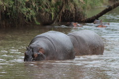 Hippos (jnyaroundtheworld) Tags: africa animals tanzania wildlife lion ngorongoro crater zebra giraffe massai serengeti animaux girafe afrique faune zbre tanzanie greatmigration wetseason manyaralake ndutu felins masa lacmanyara saisondespluies grandemigration