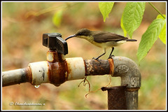 2287 - thirsty sunbird (chandrasekaran a 546k + views .Thanks to visits) Tags: nature canon 60d chennai india birds purplerumped sunbird summer water thegalaxy allofnatureswildlifelevel1