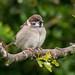 Tree Sparrow Notts WT (cpt Andrew Parsons)