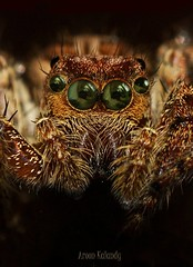 Aroon Kalandy Goggles............ (aroon_kalandy) Tags: macro spider sony goggles tamron aroonkalandy