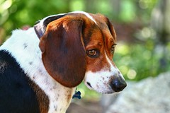Handsome Bailey (kkirby864) Tags: dog male beagle canine bailey tricolor mansbestfriend handsomeboy