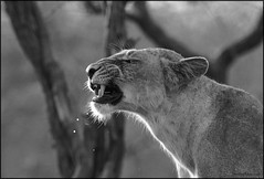 Take the camera off my face! (....NishanT....) Tags: blackandwhite india nature monochrome animal mammal wildlife lion lioness animalplanet gujarat 300mmf28 pantheraleo asiaticlion pantheraleopersica sasangir girnationalpark indianlion nikond90 flickrbigcats
