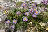 Aster alpinus - 2012-07-04-_DSC0356 (jakobae) Tags: pflanzen ferien asteraceae gruppe compositae ausdehnung grösse asteralpinus blütenpflanzen spermatophyta samenpflanzen infloreszenz magnoliophytina umfang bedecktsamigepflanzen 01jakob blütenstandblüten angiospermaebedecktsamige grvazobervazpizscalottas20120704 locchgrvazobervaztgantieniscalottas